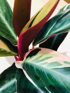 斑入り植物 カラテア ストロマンテトリオスター 観葉植物