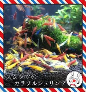 カラフルシュリンプ 20匹 ミナミヌマエビ チェリーシュリンプ スシタツ メダカ 金魚 熱帯魚 水草 アナカリス