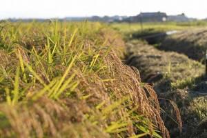 ●新米●令和3年度産 近江米キヌヒカリ 中米 精米済み24kg
