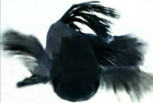 【ぽんぽこめだか】堕天使BLACK サタンラメ天女の舞めだか 有精卵3個 ヒレ長 メダカ