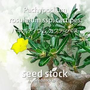 パキポディウムの種 カクチペス Pachypodium cactipes 50個