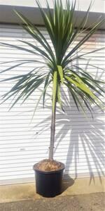♪★ 『ドラセナ』  ニオイシュロラン 南国リゾートの雰囲気たっぷり♪♪ 洋風庭園の シンボルツリー 高さは260センチ程度★♪