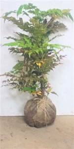** [ osmanthus heterophyllus naan ton ]. south heaven . except ... luck new building. .. certainly!! height is bottom part from 80 centimeter front after dynamic same etc. goods!**