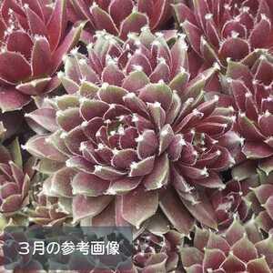 ★札落ち⑤*センペルビウム*多肉植物★カット苗