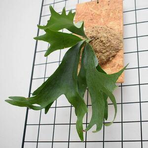 ビカクシダ アルシコルネ アフリカ コウモリラン 杉板付け 送料込み