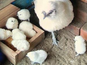 烏骨鶏 (白)平飼い 有精卵 16個 鶏 卵