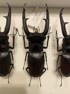 昆虫標本 マンディブラリスフタマタクワガタ 106mm.