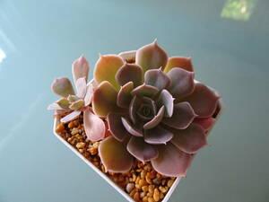 *ピンクフリル*根付き苗*多肉植物*エケベリア グラプト クラッスラ セダム セデベリア 寄せ植え