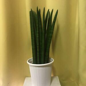 観葉植物 サンスベリア シリンドリカストレート