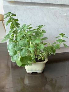 多肉植物陶器鉢アロマティカスハーブ食べられます丈夫