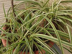 オリヅルラン 8株と子宝草たくさんのセット★観葉植物 多肉植物 寄せ植え