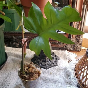 ドラゴンリーフ/フィロデンドロン タンゴ 根伸びてます 太めの茎