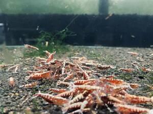 ◆SHRIMP MAFIA◆ ピントビー レッド 10匹 激美 ギャラクシーフィッシュボーン水槽から発送!