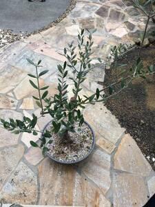 オリーブ盆栽