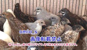 ☆姫ウズラの種卵20個☆+割れ保証