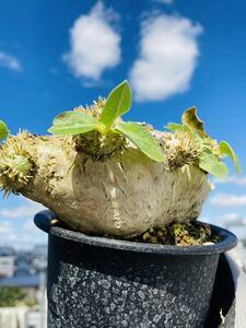 Pachypodium brevicaule パキポディウム ブレビカウレ 恵比寿笑い 特選 グラキリス 塊根 コーデックス 多肉 パキプス サボテン