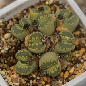 リトープス 種子 C128A 黄緑大津絵 多肉植物