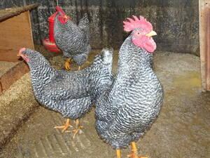 横斑プリマスロック 孵化用有精卵8個