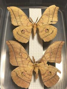 ヤママユガ♂2頭  蛾 標本