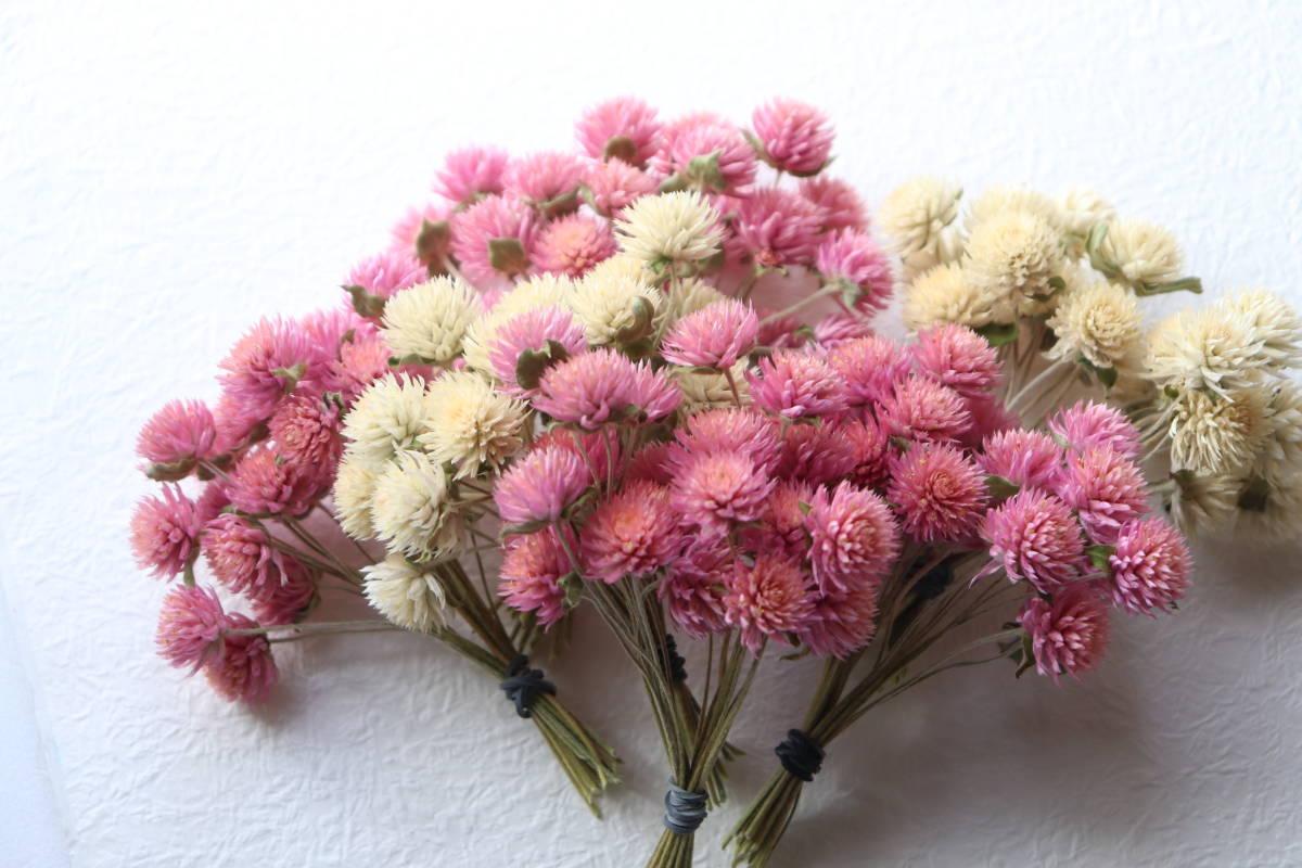 即決♪千日紅ピンク&白2色 120本(短い茎付き)