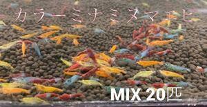 早い者勝ち! カラーミナミヌマエビ 20匹 赤いミナミヌマエビ ミナミヌマエビ チェリーシュリンプ アナカリス メダカ 金魚 水草