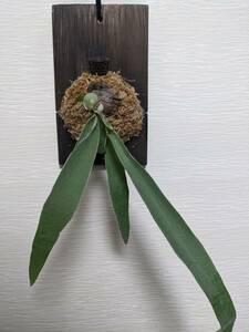 ビカクシダ ビーチー(P.veitchii)②