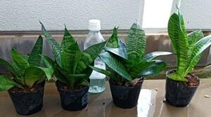 観葉植物、サンスベリア 4鉢セット