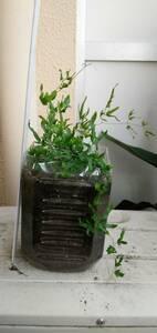 カニクサ(ツルシノブ)つる性シダ。野生種のシダ。◆1ポットで180円~+特に希望無ければ送料170円(第四種郵便・追跡無補償無)で発送予定。