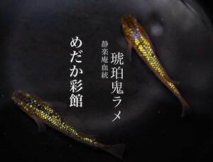 奈良 めだか彩館※超有名※静楽庵様血統※【琥珀鬼ラメ】有精卵20個 めだか 有精卵 卵
