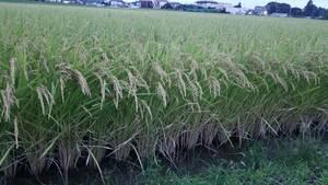 【農家直送】令和3年 新米コシヒカリ玄米30K 埼玉県産