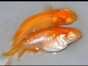 レア個体!広島プロショップめ組血統オレンジアルビノダルマ体型! 有精卵10個めだか スーパーレッド 朱赤 紅