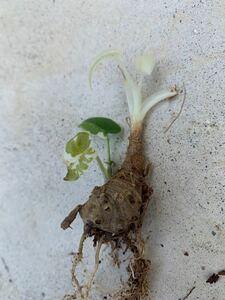 斑入り 芋付き クワズイモ