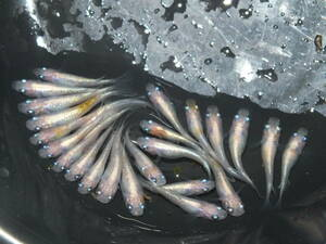 天帝メダカの有精卵15個+α(黄、白の体外光、ラメめだか)
