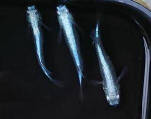 幹之メダカフルボディー鉄仮面卵 15個 みゆきメダカ卵 幹之メダカ卵 みゆきメダカ ミユキメダカ 幹之 メダカ みゆきめだか