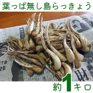【送料込】沖縄産 葉っぱ無し島らっきょう 約1キロ|塩浅漬けや天ぷらに|島らっきょの葉は枯れているので、カットして納品します