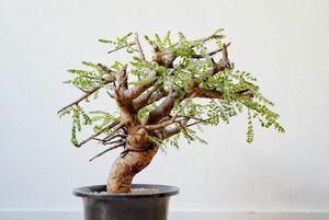 【発根済】ボスウェリア ネグレクタ Boswella neglecta ⑦#塊根植物 パキプス グラキリス コミフォラ 灌木 コーデックス