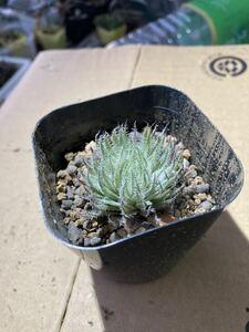 ハオルチア テネラ 多肉植物