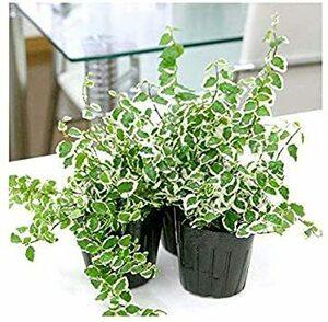 1個 (x 1) (観葉植物)フィカス プミラ サニーホワイト 3号(1ポット)