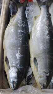 (魚)中からベニサケ55cm1本4000円即決