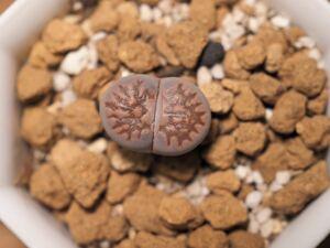 多肉植物 リトープス メセン 紫福来玉 抜き苗発送 送料無料
