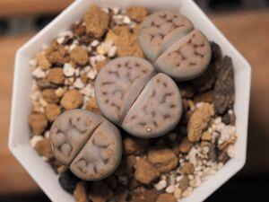 多肉植物 リトープス メセン 琥珀玉 抜き苗発送 送料無料