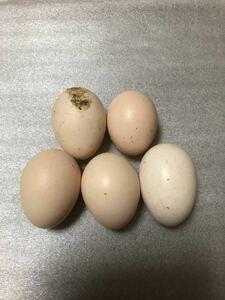 チャボMIX 種卵 5個