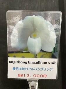 【北軽ガーデン】*Paph.ang-thong fma.album x sib *洋蘭*パフィオ*原種*人気種*ブラキ系*アルバ*熱帯植物