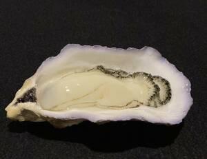 食品サンプル 牡蠣カラ付き カキ