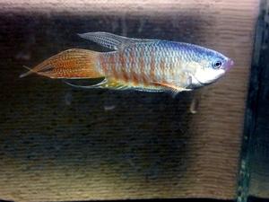 タイワンキンギョ 稚魚10匹セット