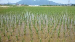 【令和3年産】 新米 農薬約9割減 新潟県認証 特別栽培米コシヒカリ 玄米紙袋25kg