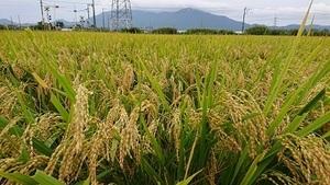 【令和3年産】 新米 新潟県認証 特別栽培米 新之助 白米紙袋25kg