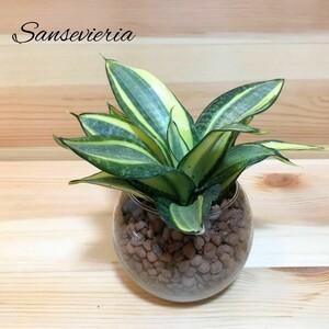 サンスベリア ゴールデンハニー ハイドロカルチャー 観葉植物