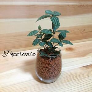 ペペロミア ハイドロカルチャー 観葉植物