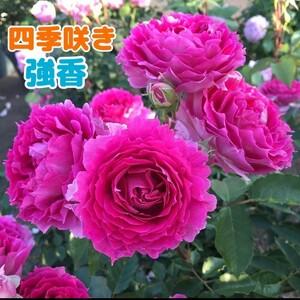 シェ○ラ○ード★強健★香り薔薇★挿し木苗★超強香★初心者向け